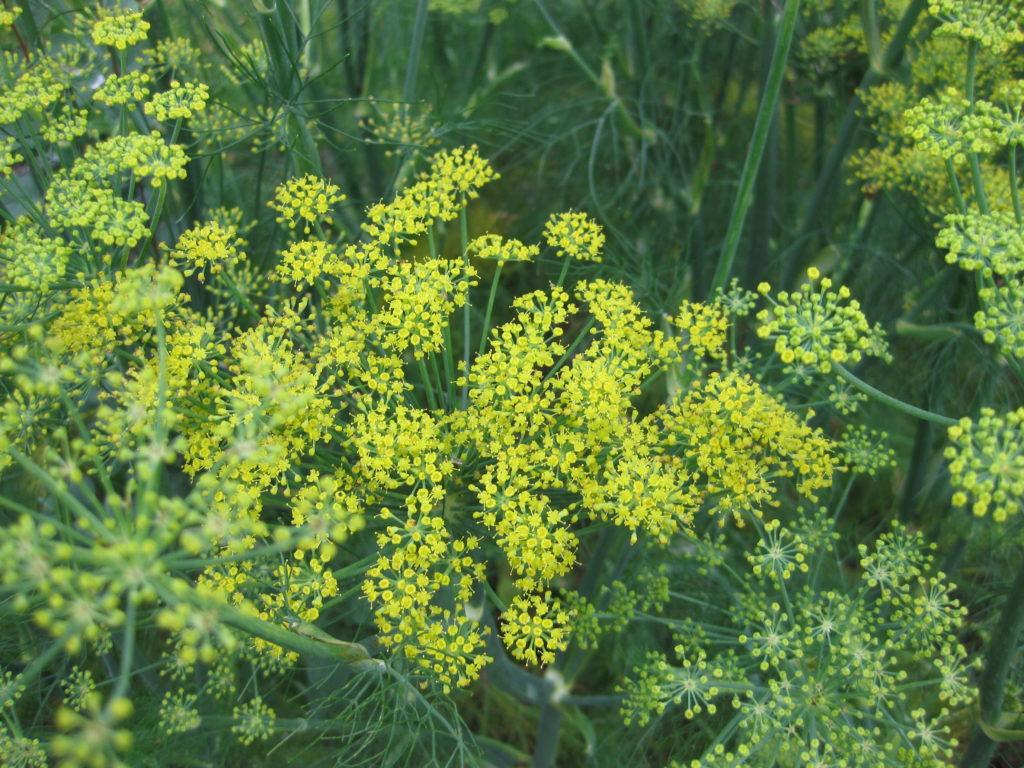 Fenchel: ein gelbblühender Doldenblütler